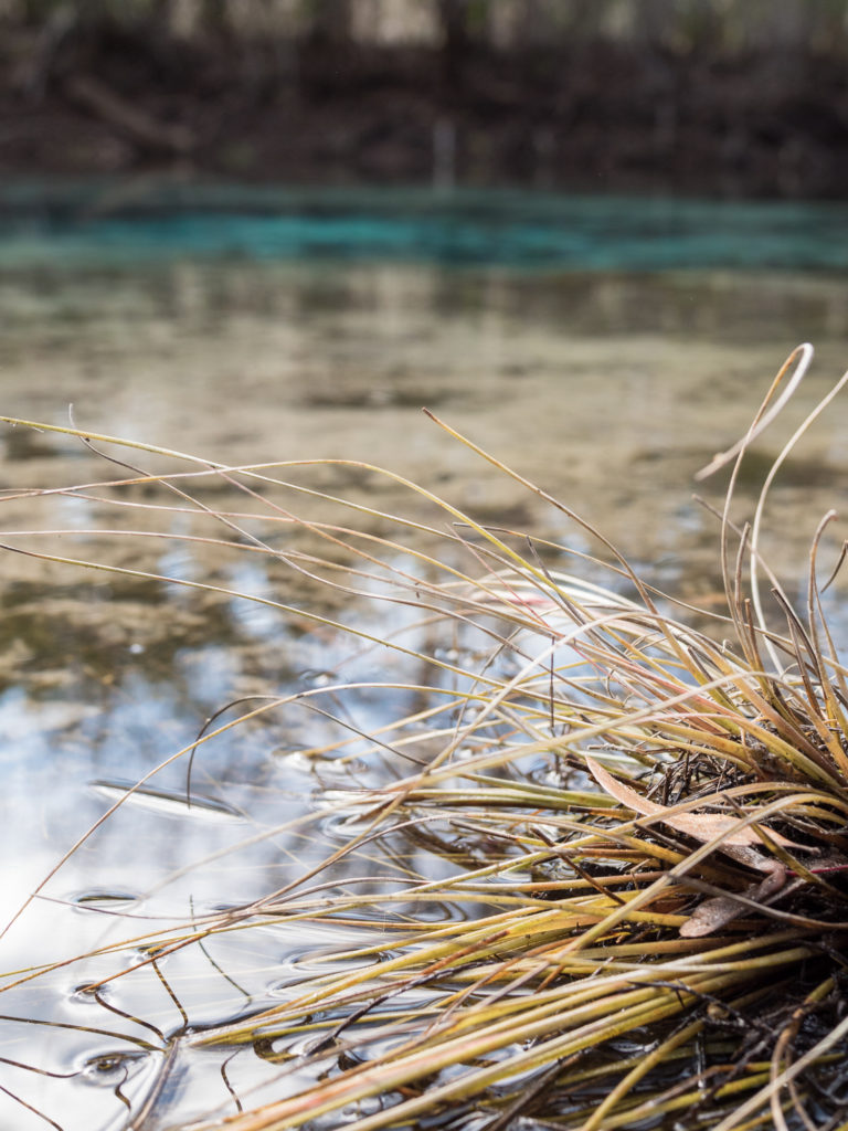 An air plant is half submerged along the edge of Cannon Springs. The blue spring is visible in the background.
