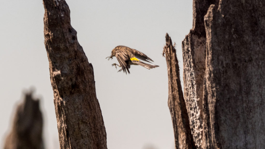 A small songbird hops between decayed cypress stumps with a small bug in its mouth.