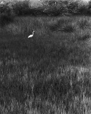 Egret at Fort Mose