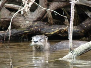 A river otter in the Ocklawaha River