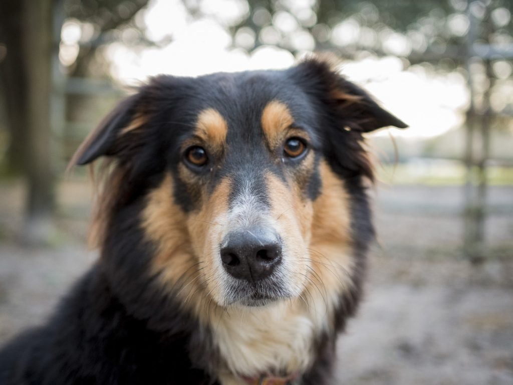 border collie-shepherd mix looking at camera, outside, wooded, blurred fence and gate in background