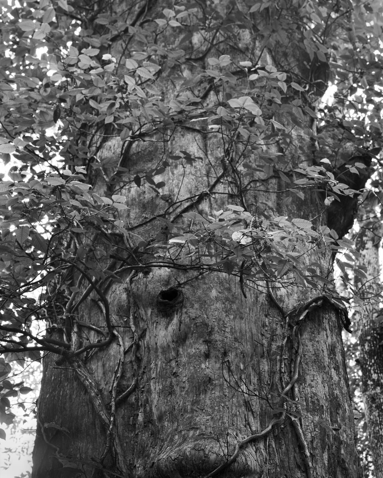 Cypress Tree, Study 2, Rice Creek, Florida. 2020