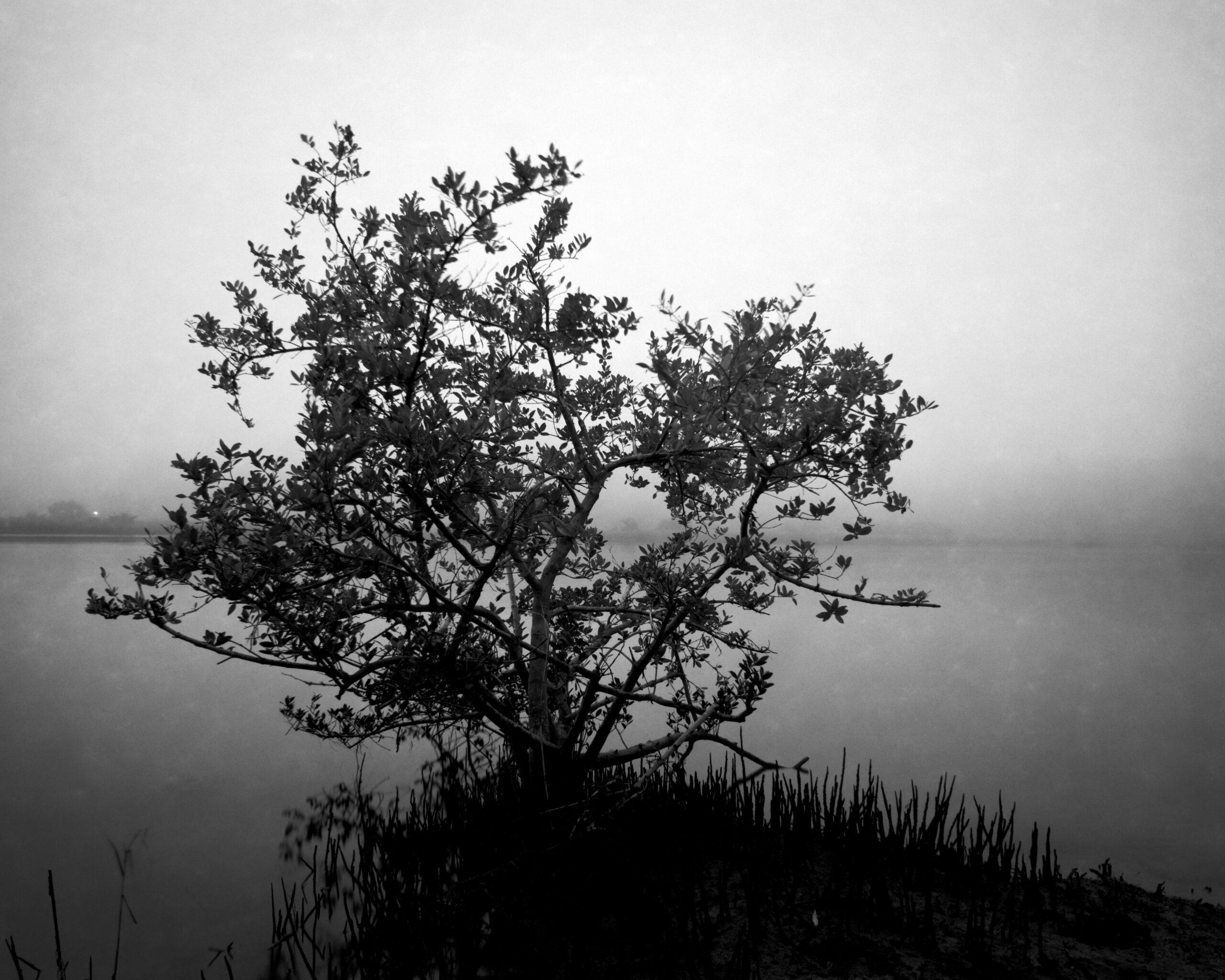Black Mangrove, St Augustine, Florida. 2020