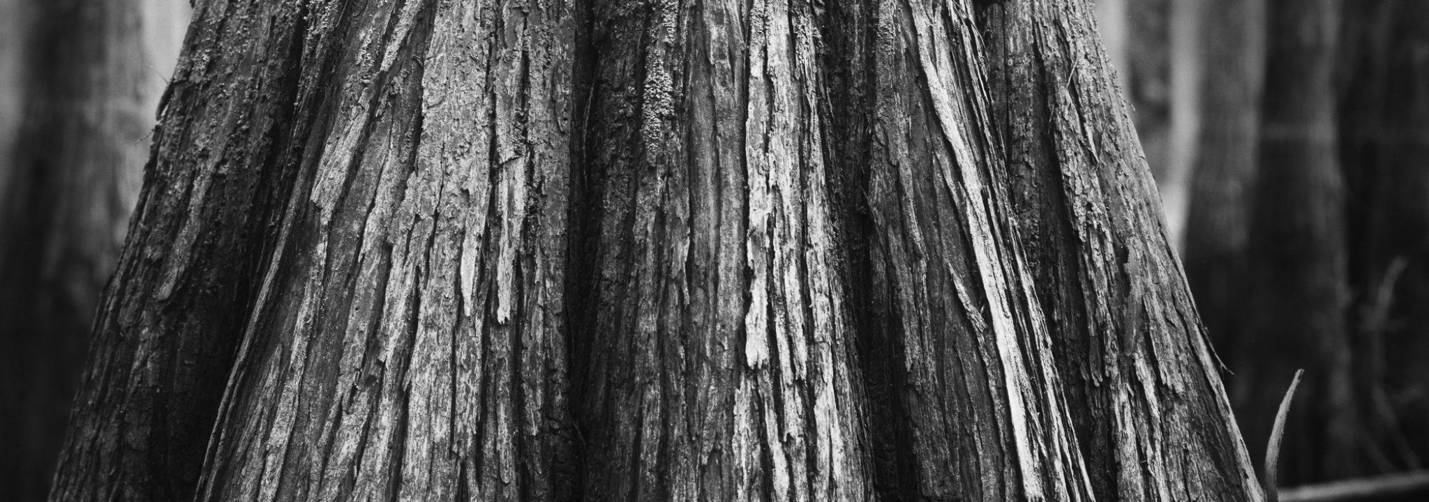 Pond Cypress 01
